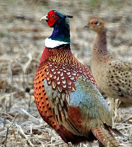 Pheasant eggs hatching - photo#25